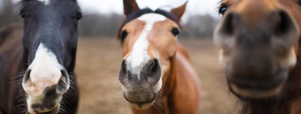 Three horse muzzles sniffing the camera