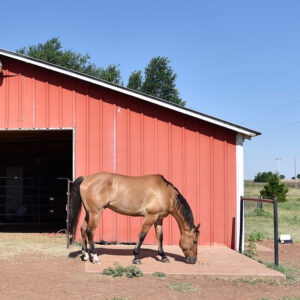 A brown horse in front a red barn