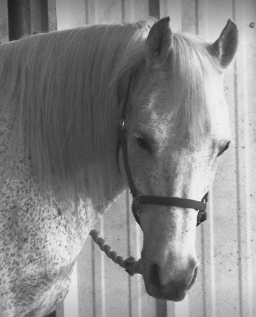 White spotted Appaloosa horse - black an white photo
